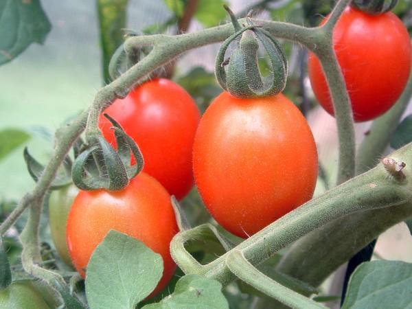 Tomate Bombolino d'Inverno