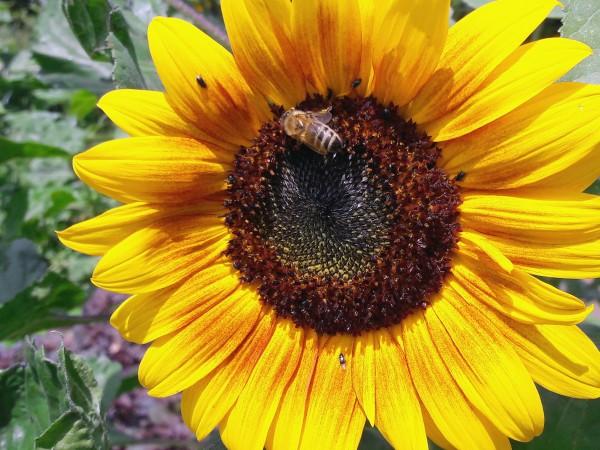 Sonnenblumen, Mischung