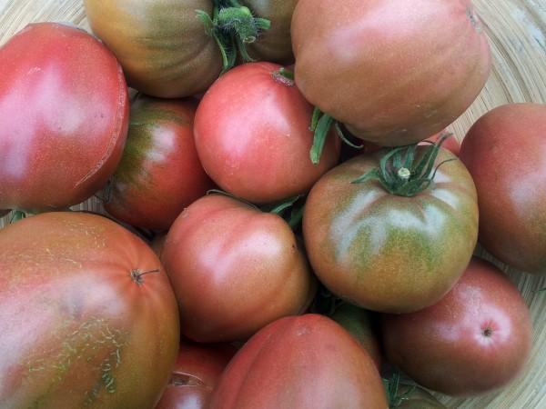 Tomate Ochsenherz Olga