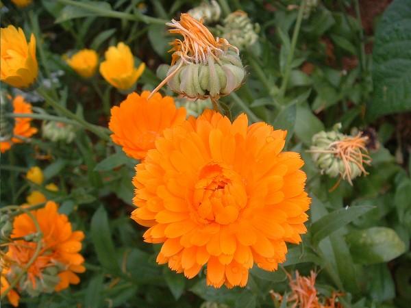Ringelblume orange und gelb